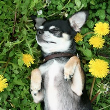Dog rolling in Dandelions