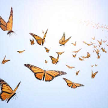 Butterflys Flying